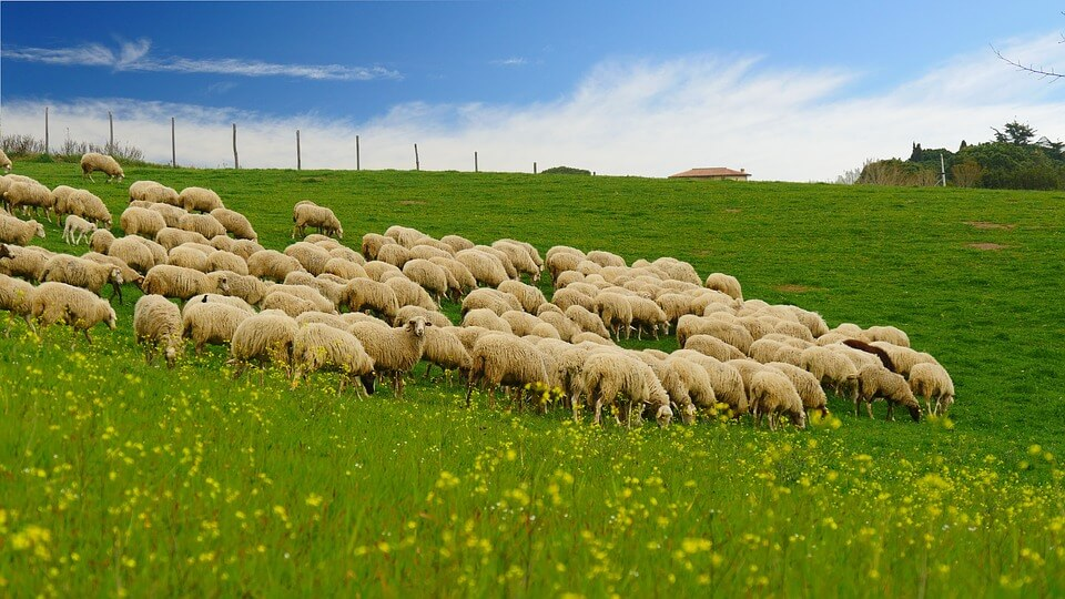 羊毛的來源是澳洲生產的美麗諾羊群。羊毛在寬廣的澳洲進行放牧,經過剪毛和整理後,成為羊毛纖維