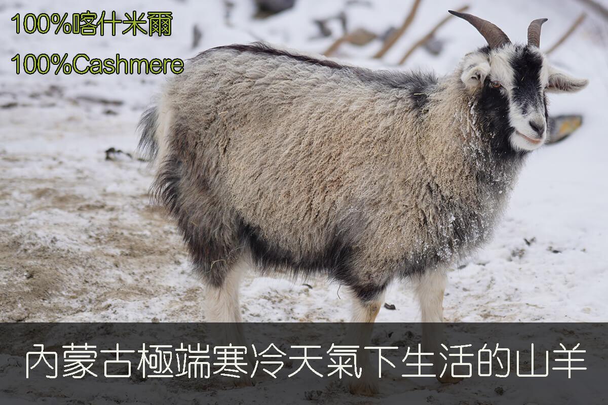 群羊山羊絨100%Cashmere採用內蒙古極端天氣下生活的山羊